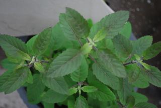 Holy Basil Plant leaves
