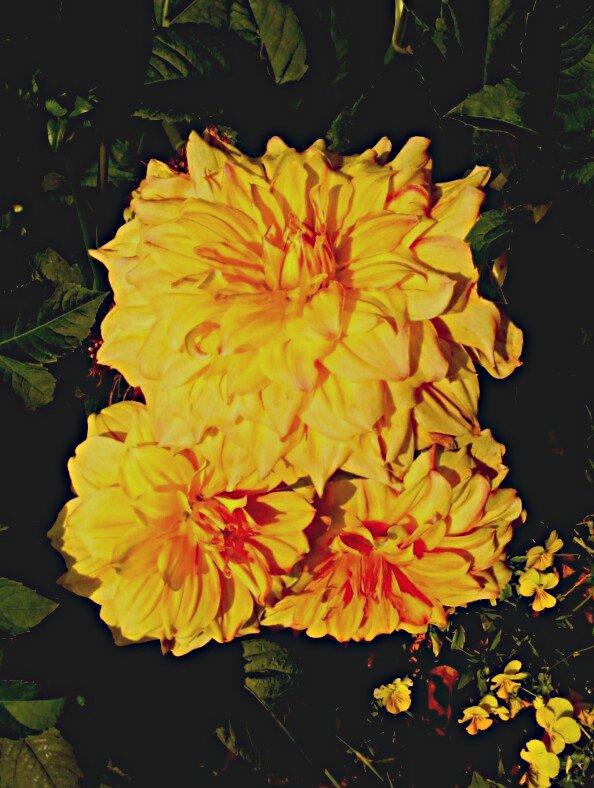 Dahlia-yellow