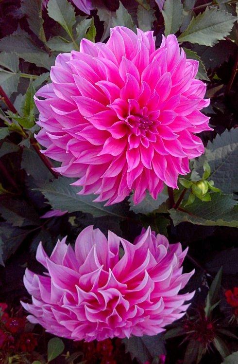 Flowers: Pink Dahlia