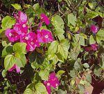 bushes-flowers-20130403_091836