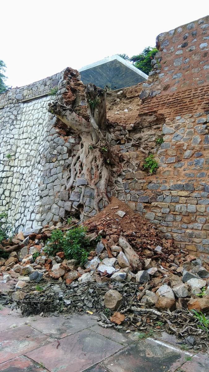Peepal Tree roots